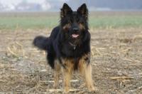 Der Altdeutsche Schäferhund ist eng mit dem Deutschen Schäferhund verwandt. Da die Anzahl der Zuchthunde beim Altdeutschen Schäferhund sehr begrenzt ist, verwenden die Züchter Welpen Deutscher Schäferhunde mit Langstockhaar zu Blutauffrischung.