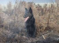 Als belgischer Schäferhund (Berger belge) wird eine Schäferhundrasse bezeichnet, die sich Ende des 19. Jahrhunderts in Belgien entwickelt hatte. Bis zum Ende des 18. Jahrhunderts gab es in Belgien eine große Anzahl von Schäferhundtypen.