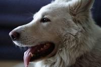 Der Berger Blanc Suisse (Weißer Schweizer Schäferhund) ist eine von der FCI seit dem 1. Januar 2003 vorläufig anerkannte Schweizer Hunderasse.