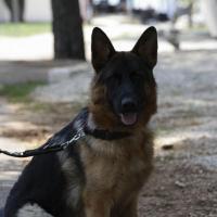 Der Deutsche Schäferhund gilt in unseren Breiten nach wie vor als <u>die</u> Sch&auml;ferhundrasse, auch wenn er beispielsweise bei der Polzei mehr und mehr durch den Belgischen Sch&auml;ferhundersetzt wird