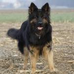 Der Altdeutsche Schäferhund - nicht anerkannt und doch kein Deutscher Schäferhund