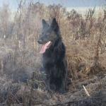Der Belgische Schäferhund - der Athlet unter den Schäferhundrassen